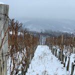 Vicelovo vinogorje Kutjevo