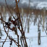 loza vinogorje Kutjevo