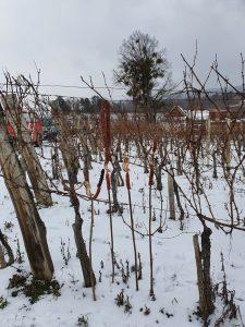 Kutjevački vinari obilježili Vincelovo rezidbom loze
