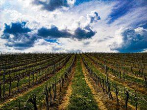 Organizira se provedbena edukacija za mjeru Restrukturiranje i konverzija vinograda